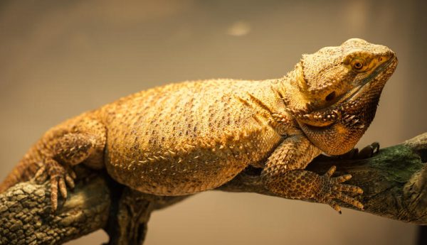 Pogona German Giant